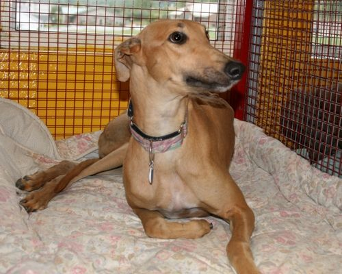 Fawn, a now adopted dog, sweet as can be and cozy in her kennel at N.G.A.